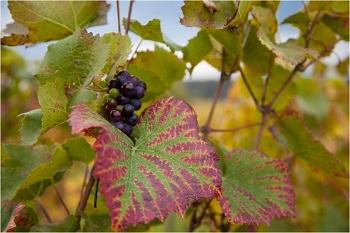Feuille de vigne Bourgogne Pinot noir