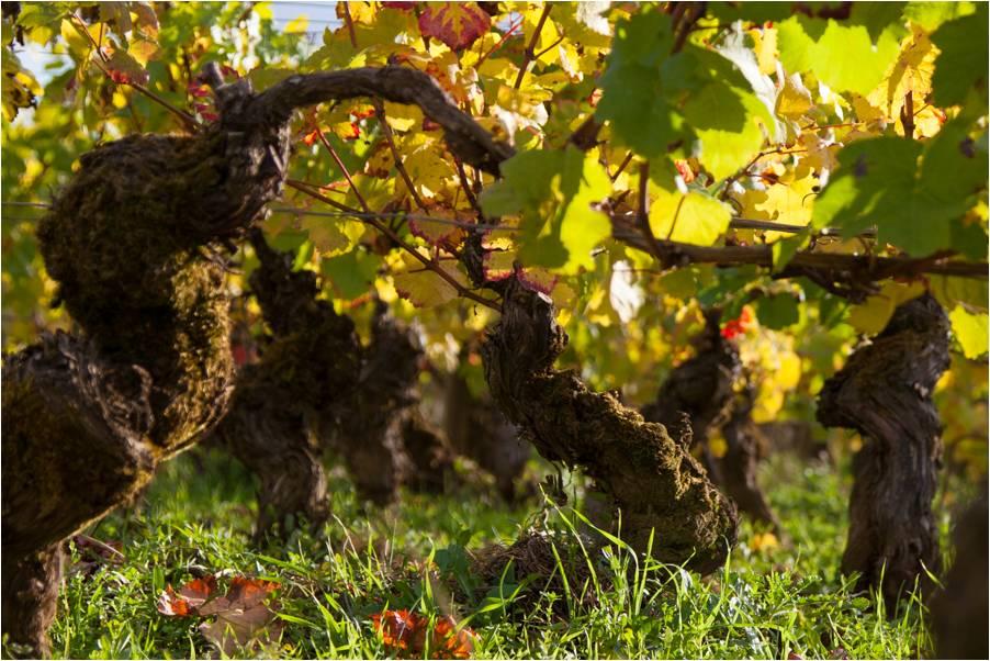 Pied de vigne Beaune 1er Cru Les Chouacheux