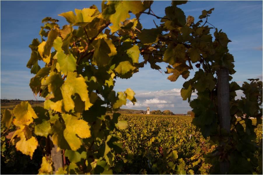 Vigne Pommard Domaine Coste Caumartin