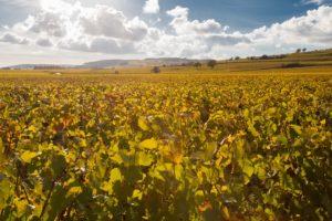 vignes du domaine COste Caumartin à POmmard et ses environs soleil